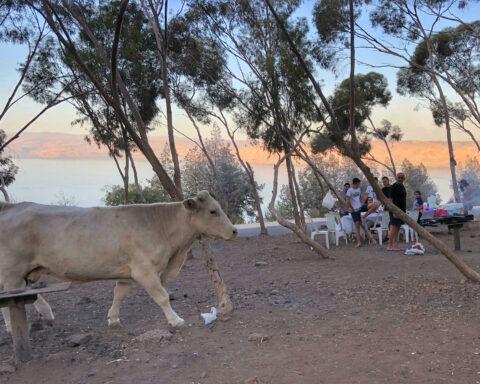 Kuh, Israel, heilige